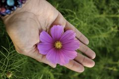 Pink cosmos flower on hand Stock Image