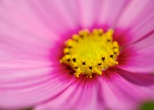 Pink Cosmos Flower Head Stock Images