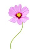 Pink Cosmos Flower Royalty Free Stock Images