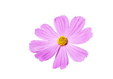 Pink cosmos flower isolated on white background Royalty Free Stock Photography