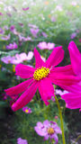 Pink Cosmos flower Royalty Free Stock Photo