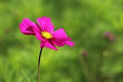 Pink cosmos flower in a meadow Royalty Free Stock Photography