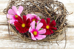 Pink cosmos flower on old a wooden background Stock Images