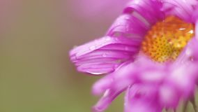 Pink cosmos flower. Close up stock video footage