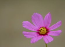 Pink cosmos flower. On rayong thailand Royalty Free Stock Image