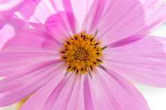 Pink cosmos flower. Stock Photo