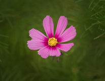 Pink Cosmos flower. Stock Photos