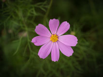 Pink Cosmos flower. Royalty Free Stock Photography