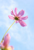 Pink cosmos flower on sky Stock Photos