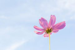 Pink Cosmos flower Stock Image