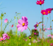 Pink cosmos flower on sky background Stock Images