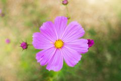 Pink cosmos flower top view Royalty Free Stock Image