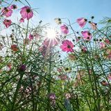 Pink cosmos flower under beautiful sun light. Have a nice day. Royalty Free Stock Photos