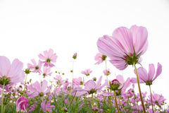 Pink Cosmos flower. On white background Royalty Free Stock Photos