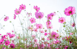 Pink cosmos flower on white background. In spring time Royalty Free Stock Photography