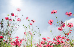 Pink cosmos flower on white backgroundRed cosmos flower on whit. Red cosmos flower on white background Stock Images