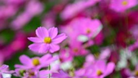 Pink cosmos flower in field. Pink cosmos flower in the wind at cosmos field. concept defocus. 4k stock video footage