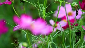 Pink cosmos flower in field. Pink cosmos flower in the wind at cosmos field. concept defocus. 4k stock footage