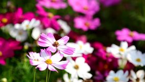 Pink cosmos flower in field. Pink cosmos flower in the wind at cosmos field. 4k stock video footage