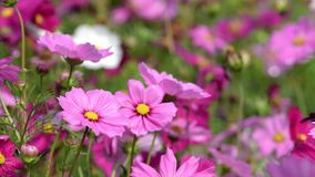 Pink cosmos flower in cosmos field. Pink cosmos flower in the wind at cosmos field. Nature background stock footage