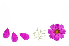 Pink cosmos flowerhead with petals Royalty Free Stock Photos