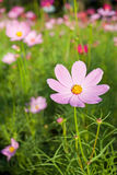 Pink Cosmos Flowers Royalty Free Stock Images