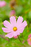 Pink Cosmos flowers Royalty Free Stock Photos