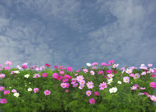 Pink cosmos flowers. Pink cosmos flowers under the summer sunlight Royalty Free Stock Photography