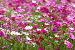 Pink cosmos flowers Stock Image