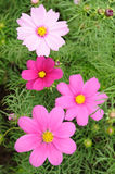 Pink cosmos flowers Stock Photos