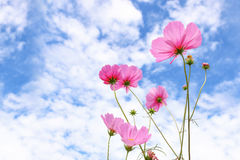pink cosmos flowers against blue sky Stock Photo