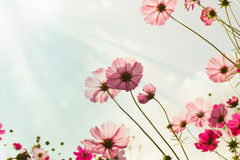 Pink cosmos flowers. Stock Photography
