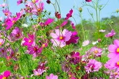 Pink Cosmos flowers. Beautiful Pink Cosmos flowers field in the farm Royalty Free Stock Images
