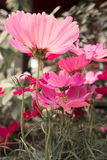 Pink Cosmos flowers with black and white background - bright color Stock Image