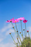 Pink cosmos flowers blooming on blue sky background Stock Image