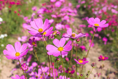 Pink cosmos flowers blooming  on field. Royalty Free Stock Photography