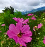 Pink cosmos flowers blooming in the garden in rainy season with bee swarming royalty free stock photo