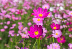Pink cosmos flowers blooming in the garden . Royalty Free Stock Photos