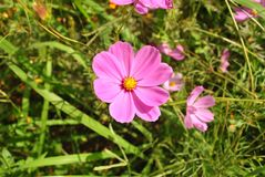 Pink cosmos flowers blooming in the garden Royalty Free Stock Image