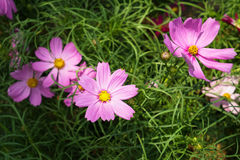 Pink Cosmos flowers blooming among green leaves background under Stock Photography