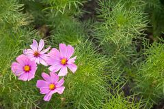 Pink Cosmos flowers are blooming in nature. Royalty Free Stock Photo