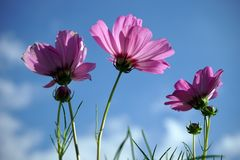 Pink cosmos flowers on blue sky background. Pink cosmos flowers and blue sky background spring beautiful nature fresh colorful plant blossom field beauty green stock photos
