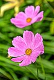 Pink cosmos flowers on blurry green background Stock Images
