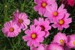 Pink cosmos flowers Royalty Free Stock Photo
