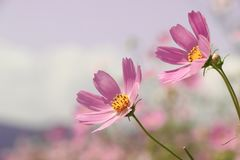Cosmos Flowers. Pink Cosmos Flowers Close Up,Selective Focused royalty free stock images