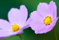 Pink cosmos flowers, closeup Royalty Free Stock Photos