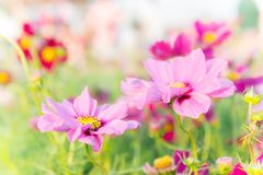 Pink cosmos flowers , daisy blossom flowers in the garden.  Stock Photo