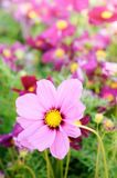 Pink cosmos flowers , daisy blossom flowers in the garden.  Stock Photos