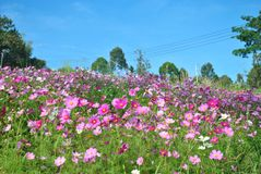 Pink cosmos flowers in the field with blue sky Royalty Free Stock Images
