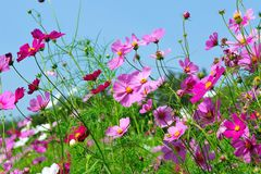 Pink Cosmos flowers. Cosmos flowers field in the farm Royalty Free Stock Image